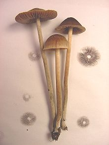 Psilocybe tampanensis - Wikipedia