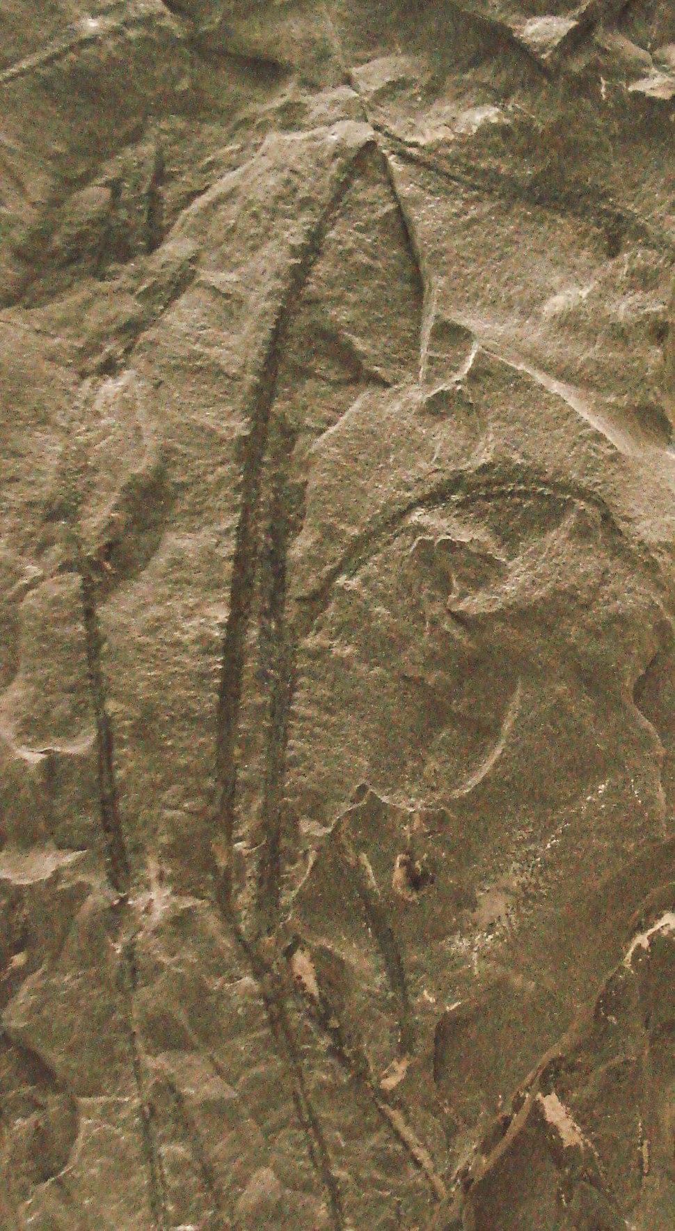 Psilophyton dawsonii-rev
