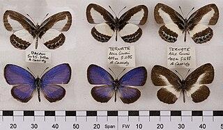 <i>Psychonotis</i> Butterfly genus in family Lycaenidae