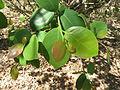 Pterocarpus santalinus 03.JPG