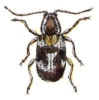 Ptinomorphus.regalis.-.calwer.28.19.jpg
