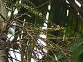 Ptychosperma macarthurii (4631145564).jpg