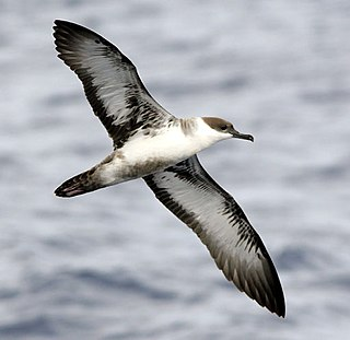 Shearwater medium-sized long-winged seabirds, common name for a subgroup of the family Procellariidae