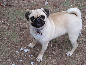 A female Pug named Vanessa.