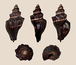 <i>Pugilina morio</i> Species of gastropod