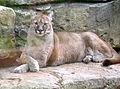 Puma beauval 08.JPG