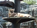 Puma concolor in Akita Omoriyama Zoo 20170326.jpg