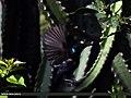 Purple Sunbird (Cinnyris asiaticus) (15701995769).jpg