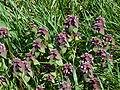 Purple dead-nettle vancouver.jpg