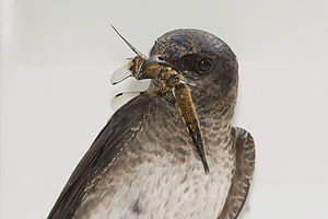 Horicon Marsh - A Purple Martin captured a Four Spotted Chaser