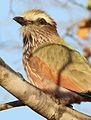 Purple roller, Coracias naevius, in the Punda Maria area, Kruger National Park, South Africa (21835744169).jpg