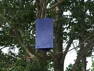Emerald ash borer - A purple trap used for determining the extent of the invasion