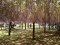 Purple wisteria in Kawachi Wisteria Garden 20150509-8.JPG