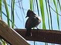 Pycnonotus tricolor (30846001448).jpg