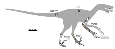 Pyroraptor fossil 01.png