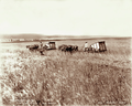 Queensland State Archives 3928 300 acre wheatfield Canning Downs near Warwick 16 October 1894.png