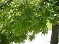 Quercus cerris 3a.jpg