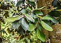 Quercus crassifolia in Hackfalls Arboretum (3).jpg