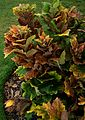 Quercus dentata - Flickr - peganum (1).jpg