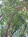 Quercus sessilifolia2.jpg