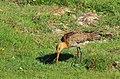 Rödspov Black-tailed Godwit (14334382617).jpg