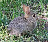 Rabbit/