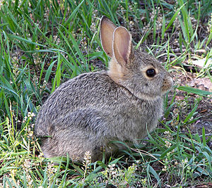 A rabbit (A cottontail, I think) posing on the...