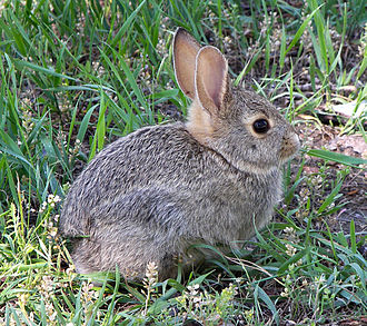 Rabbit - Young rabbit in Montana, United States