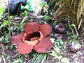 Rafflesia arnoldii and buds.JPG