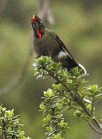 Rainbow-Bearded Thornbill (Chalcostigma herrani)