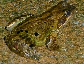 True frog - Common frog, Rana temporaria