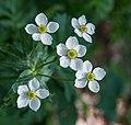 Ranunculus aconitifolius in Stolby Reserve (Krasnoyarsk, Russia) 4Y1A8772 (28259534942).jpg