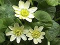 Ranunculus ficaria Salmons White.jpg