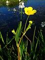 Ranunculus flammula 1a.jpg