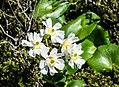 Ranunculus lyallii in Fiordland National Park 09.jpg