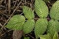 Raspberry 3737.jpg