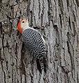 Red-bellied Woodpecker (33301612786).jpg