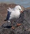 Red-billed gull in Cass Bay, New Zealand 08.jpg