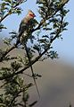 Red-faced mousebird, Urocolius indicus, at Pilanesberg National Park, Northwest Province, South Africa (28054417253).jpg