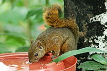Red-tailed Squirrel (Sciurus granatensis) 2015-06-05 (10) (39413430125).jpg