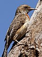 Red-throated Wryneck, Jynx ruficollis.jpg