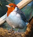 Red Crested Cardinal 001.jpg
