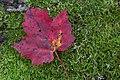 Red Maple on Moss Velvet (8058308745).jpg