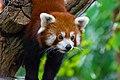Red Panda (37312214824).jpg