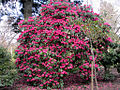 Red Rhododendron Plant (6905670594).jpg