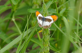 Red Tip (Colotis antevippe gavisa) male (17234045569).jpg