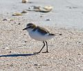 Red capped plover (7570646336).jpg