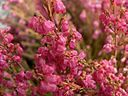 Red heather flower