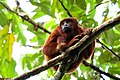 Red howler monkey Manu national park.jpg