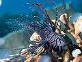 Red lionfish (Pterois volitans) (48565549156).jpg
